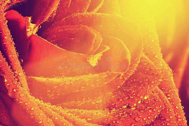 Rewolucjonistki róży kwiatu mokry zakończenie ilustracyjny lelui czerwieni stylu rocznik zdjęcie stock