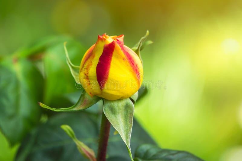 Rewolucjonistki róży nieotwarty pączek na pięknym kolorze żółtym i zieleni zamazywał tło zdjęcie stock