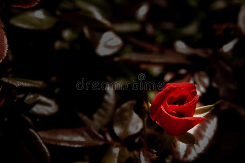 Rewolucjonistki róży pączek na ciemnym tle fotografia royalty free