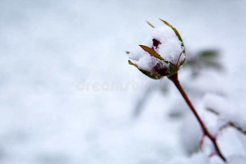 Rewolucjonistki róży pączek pod białym śniegiem tło płatków śniegu biały niebieska zima zdjęcie stock