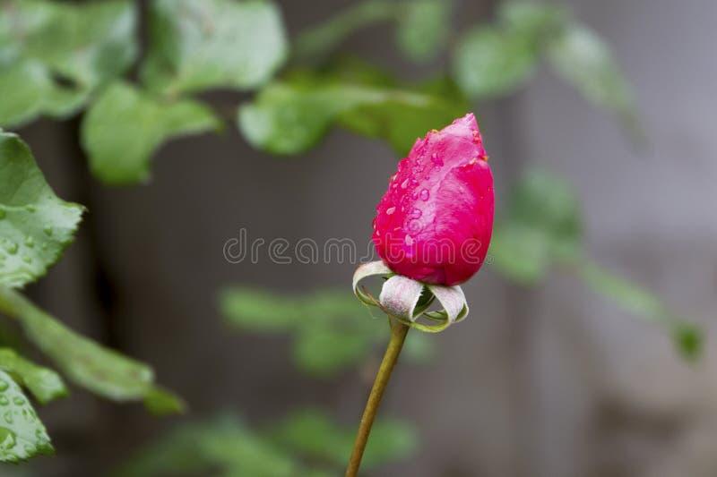 Rewolucjonistki róży pączek w deszczu obraz stock