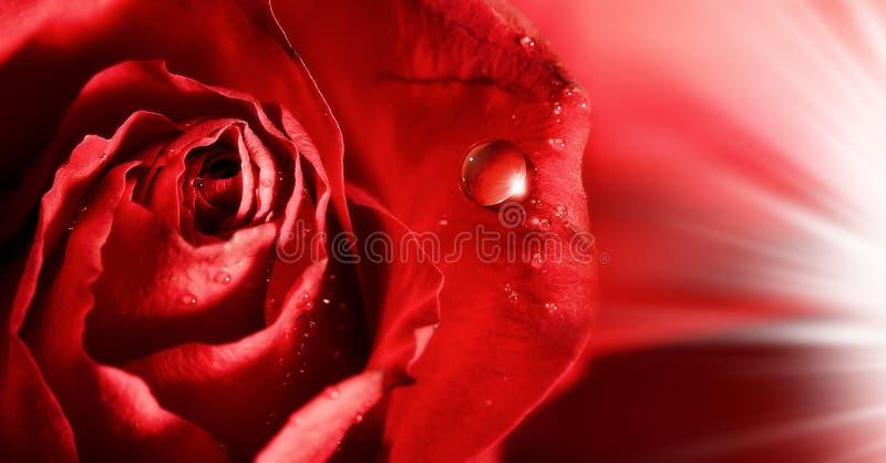 Rewolucjonistki róży płatki z wodnymi kropelkami obrazy stock