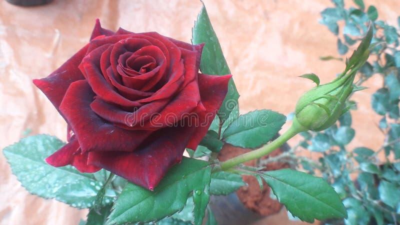 Rewolucjonistki róży walentynki kolekcja Piękni fantazja kwiaty zdjęcie stock