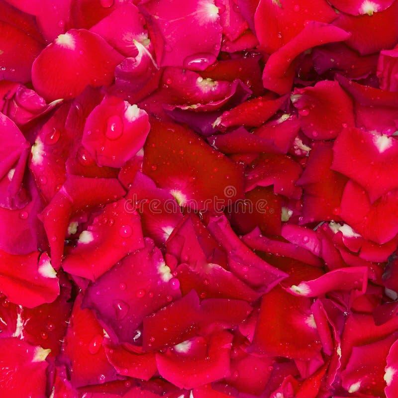 Rewolucjonistki róży wody i płatka kropla obraz stock