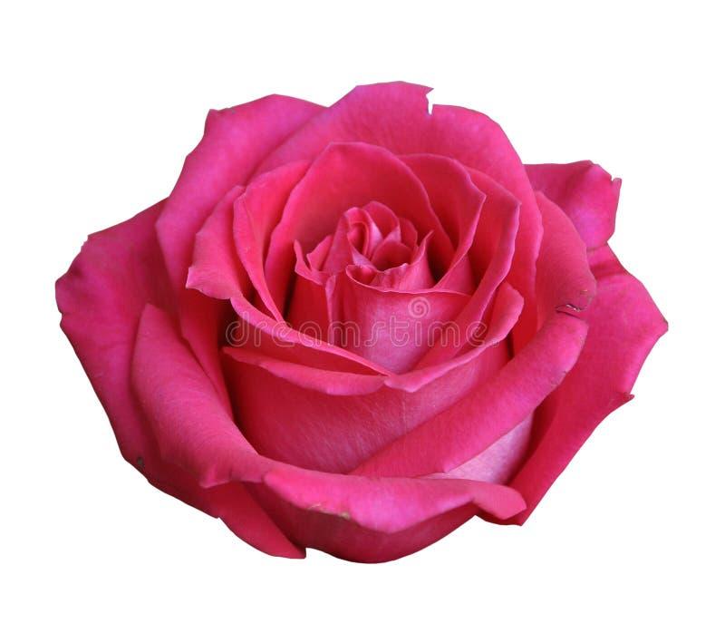 Rewolucjonistki róży zakończenie odizolowywający na białym tle obraz stock