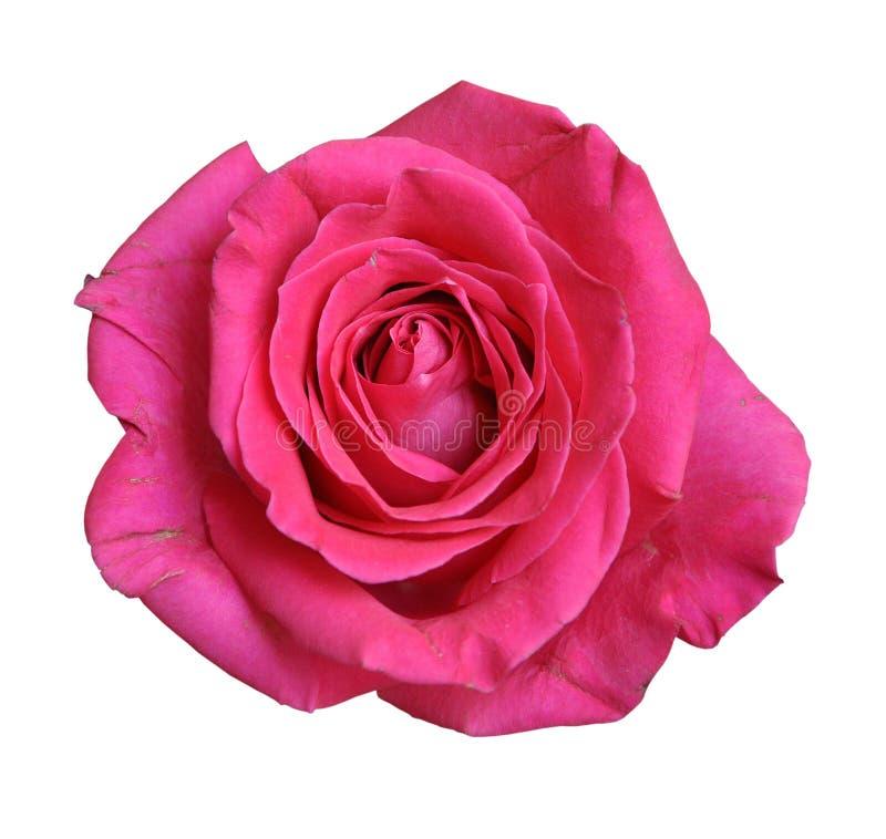 Rewolucjonistki róży zakończenie odizolowywający na białym tle obrazy royalty free