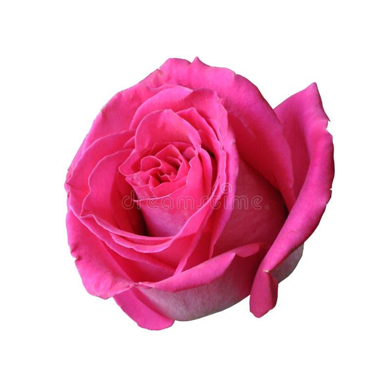 Rewolucjonistki róży zakończenie odizolowywający na białym tle zdjęcia royalty free