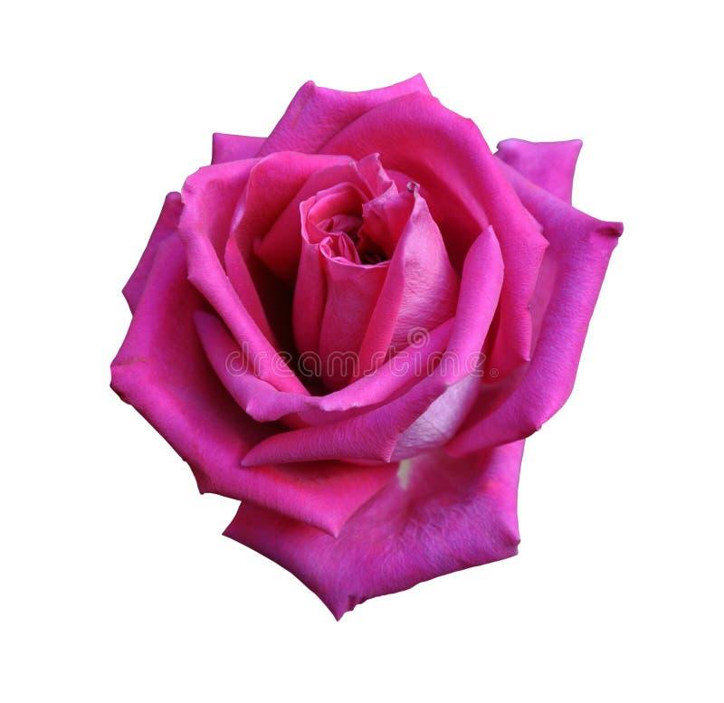 Rewolucjonistki róży zakończenie odizolowywający na białym tle, wielki kwiat zdjęcia royalty free