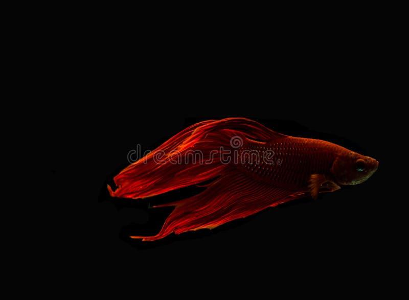 Rewolucjonistki ryba walka obraz stock