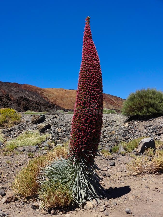 Rewolucjonistki wierza klejnoty kwitnie Echium wildpretii, kwiat Tene obrazy stock