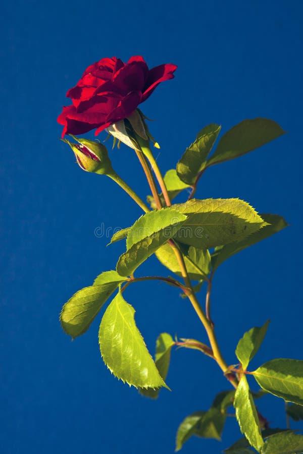 Rewolucjonistki zieleni i róży liście na zielonym tle obrazy royalty free