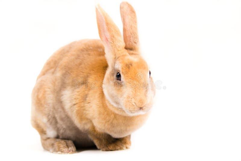 Rex Bunny royalty-vrije stock fotografie