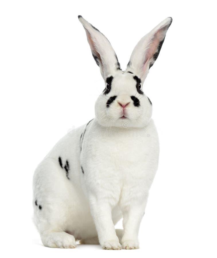 Rex Dalmatian Rabbit lokalisierte auf Weiß stockfotografie