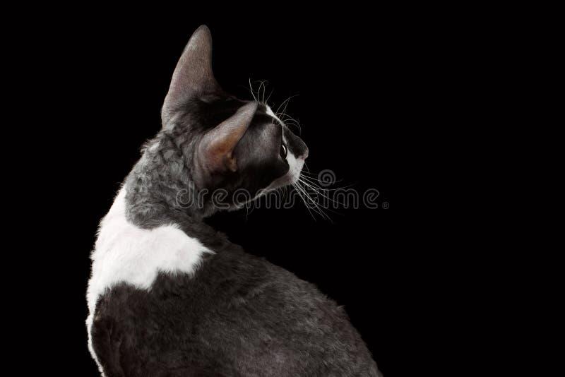 Rex Looking Back Isolated córnico no preto imagens de stock royalty free