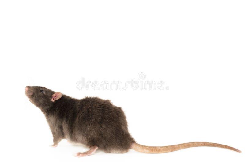Rex Rat royaltyfria bilder