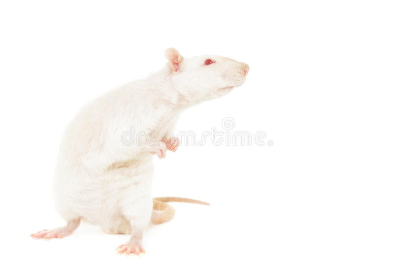 Rex Rat photo stock