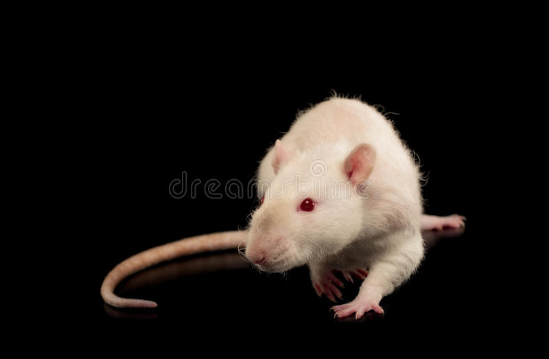 Rex Rat photographie stock