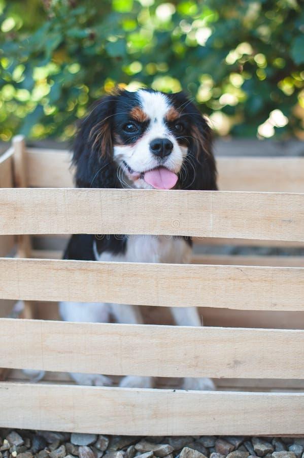 Rey arrogante Charles Spaniel del perrito se sienta en un cajón foto de archivo