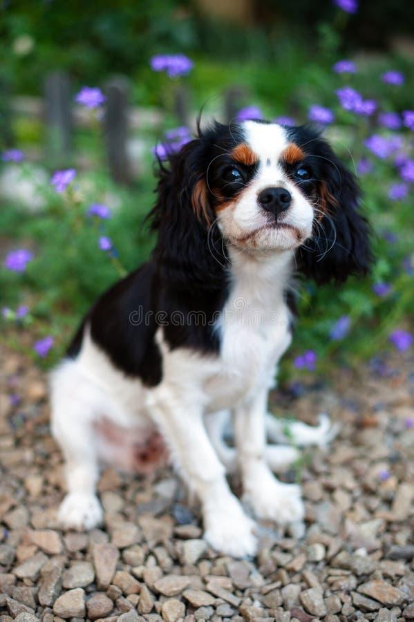 Rey arrogante Charles Spaniel del perrito se sienta entre las flores fotografía de archivo