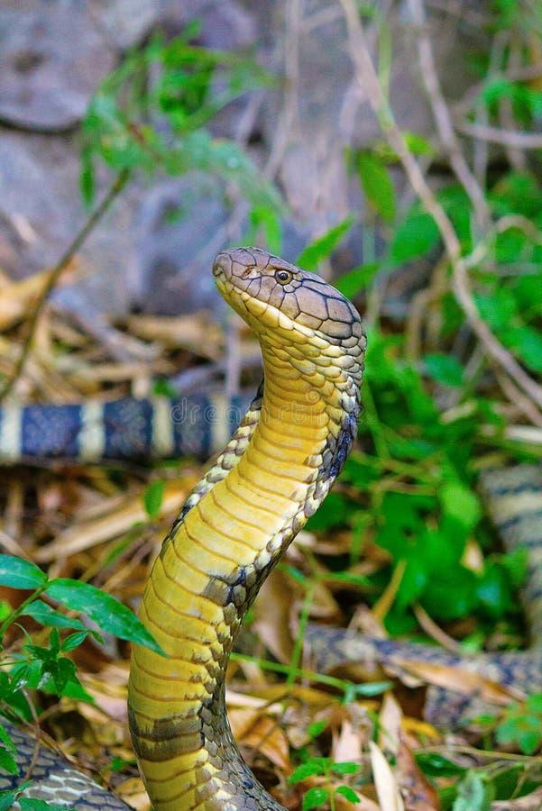 Rey Cobra, Ophiophagus Hannah, Corbett Tiger Reserve, Uttarakhand fotos de archivo