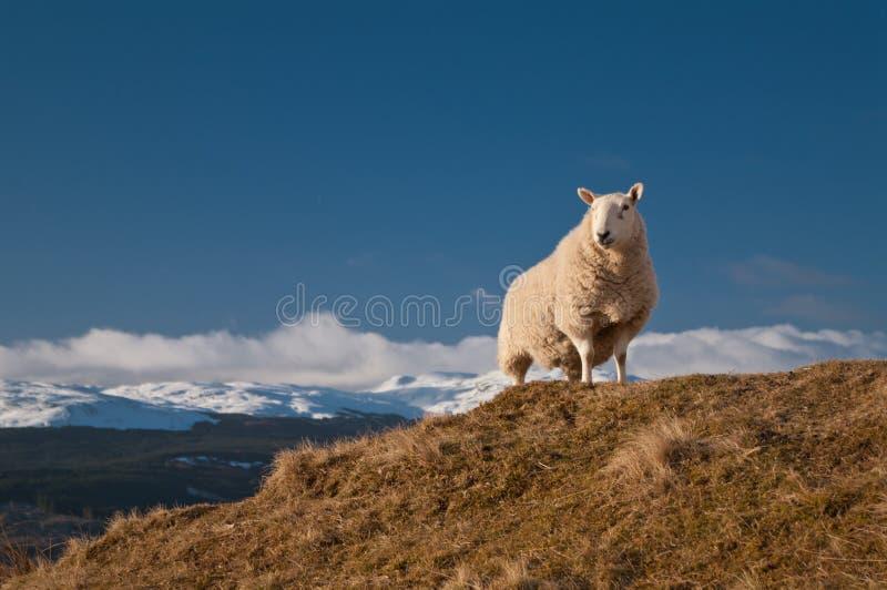 Rey de la colina - oveja sobre el lago Tay Escocia imagenes de archivo