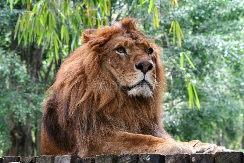 Rey de la selva fotos de archivo libres de regalías