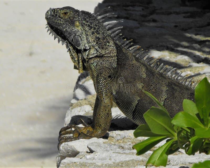 Rey de las iguanas fotografía de archivo