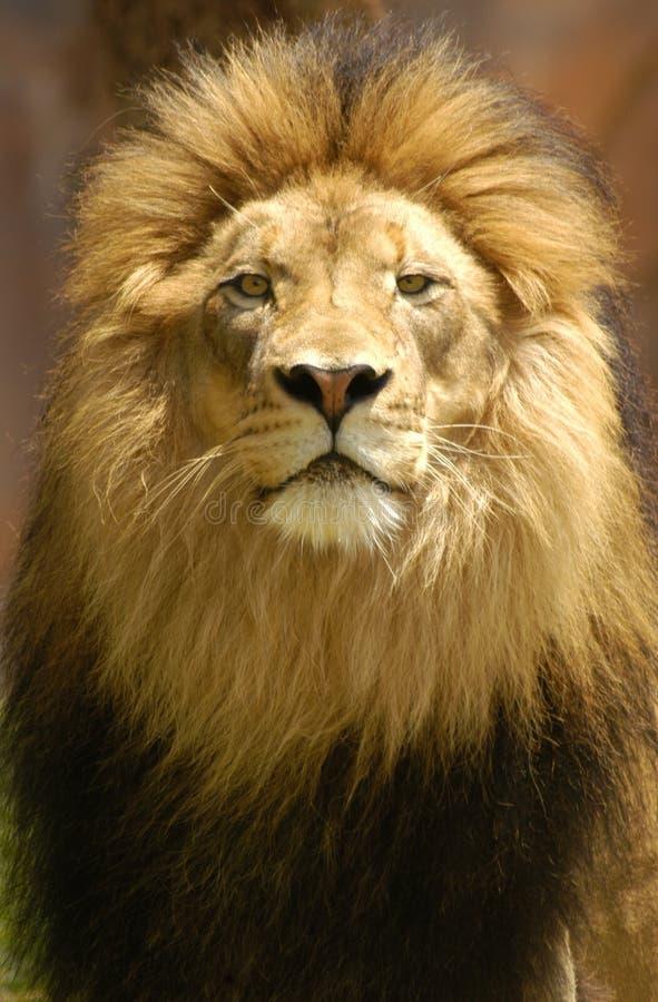 Rey del león imagenes de archivo