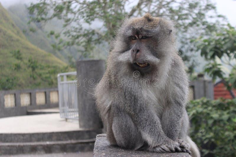 Rey del mono en la acción imagen de archivo