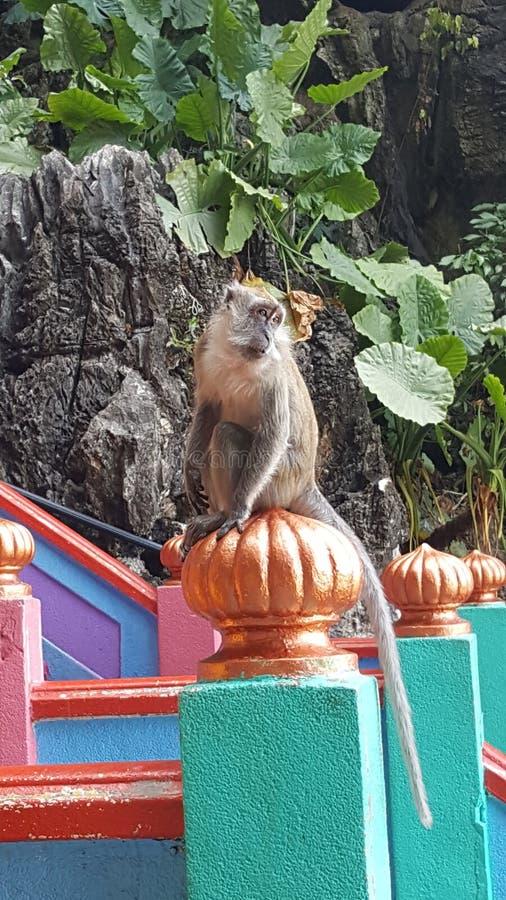 Rey del mono fotografía de archivo libre de regalías