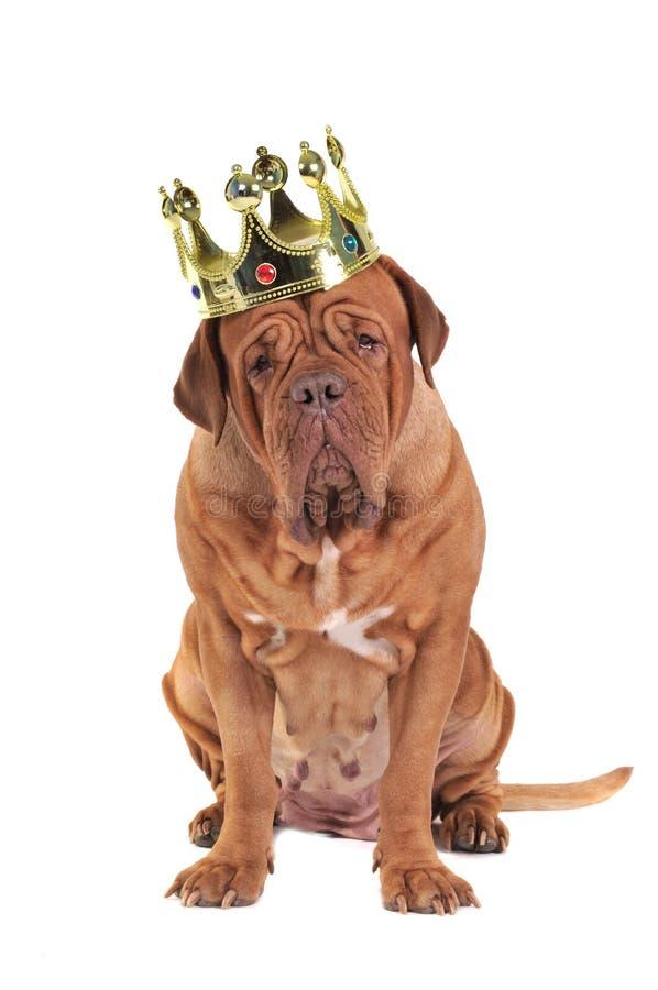 Rey del perro fotografía de archivo libre de regalías