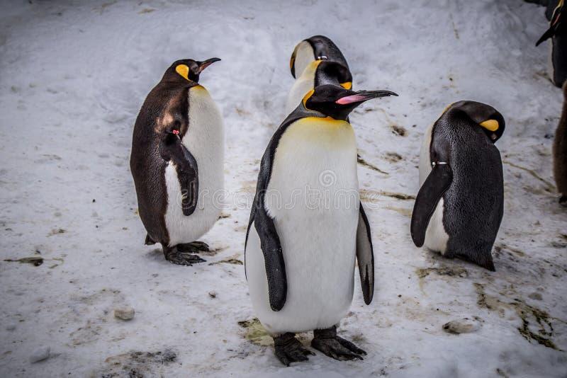 Rey del pingüino de emperador de la especie de los pingüinos imagen de archivo libre de regalías