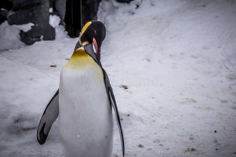 Rey del pingüino de emperador de la especie de los pingüinos fotos de archivo libres de regalías