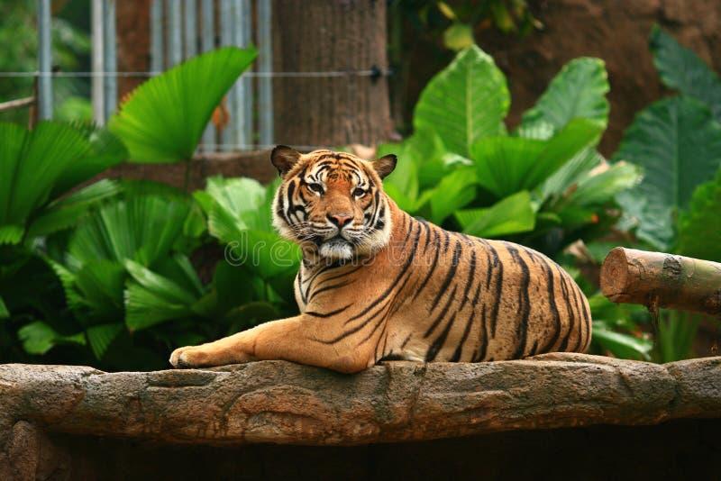 Rey malayo Barbilla-Para arriba del tigre fotografía de archivo libre de regalías
