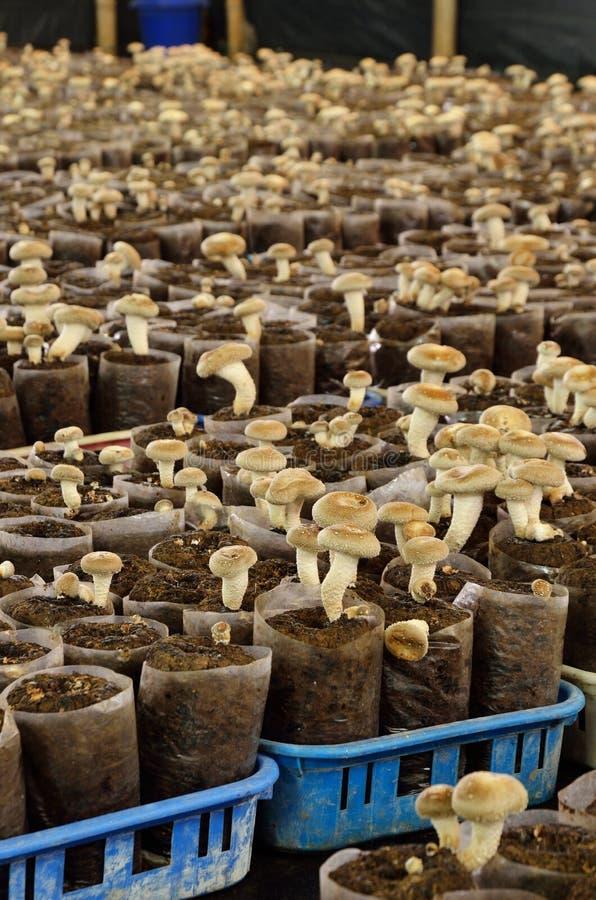 Rey Oyster Mushroom fotografía de archivo libre de regalías