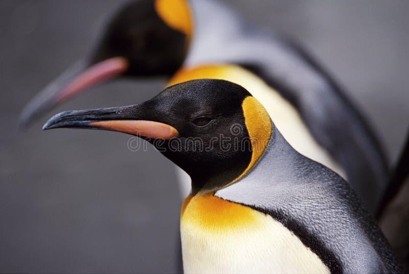 Rey Penguin Cose-Up imágenes de archivo libres de regalías