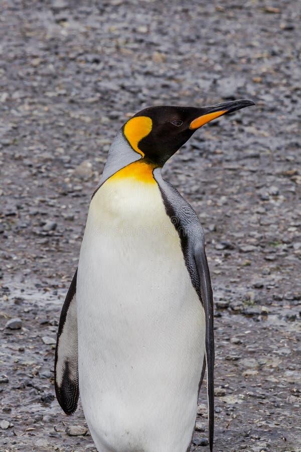 Rey Penguin que parece derecho en Georgia del sur fotos de archivo libres de regalías
