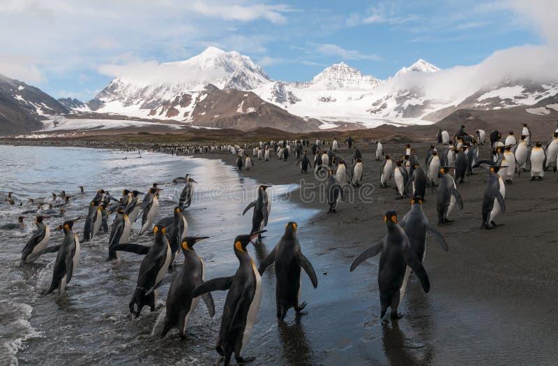 Rey Penguins en la playa, St Andrews Bay, Georgia del sur fotografía de archivo libre de regalías