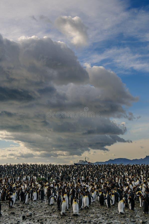 Rey Penguins en puerto del oro imagenes de archivo