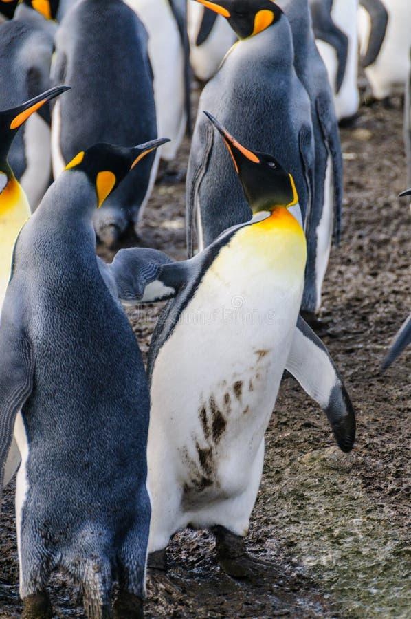 Rey Penguins en puerto del oro fotos de archivo