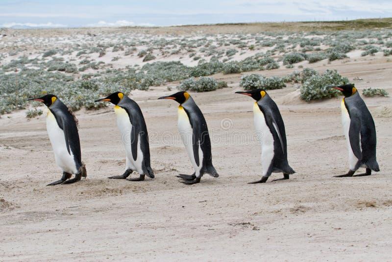 Rey Penguins que camina en fila foto de archivo libre de regalías