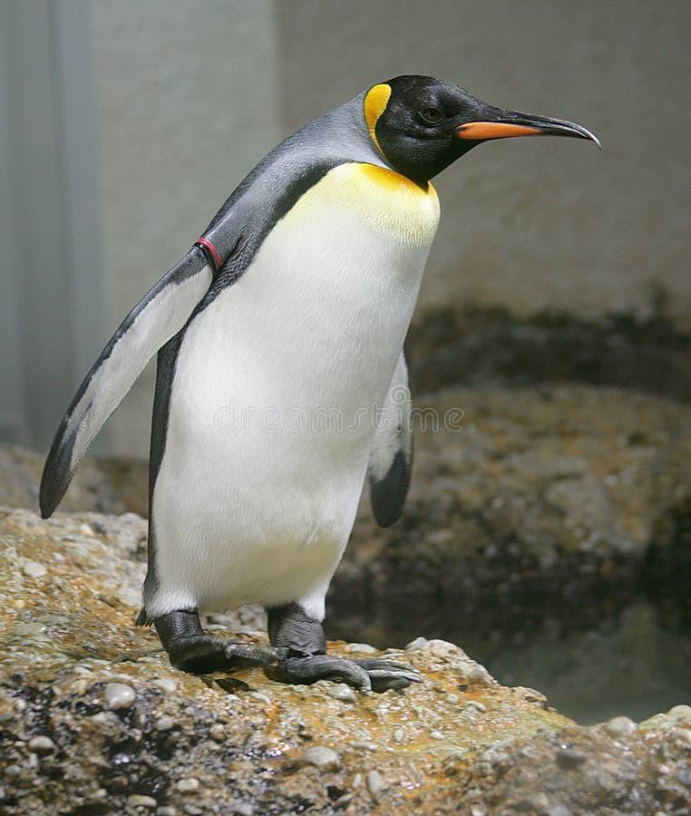 Rey pingüino 1 foto de archivo libre de regalías