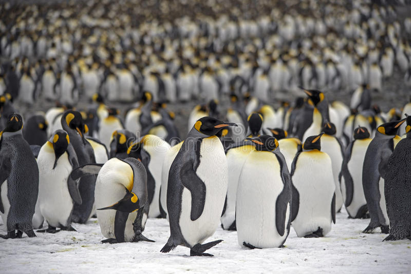 Rey pingüinos foto de archivo