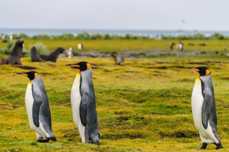 Rey pingüinos en Georgia del sur fotografía de archivo