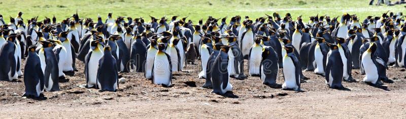 Rey pingüinos en la punta voluntaria foto de archivo libre de regalías