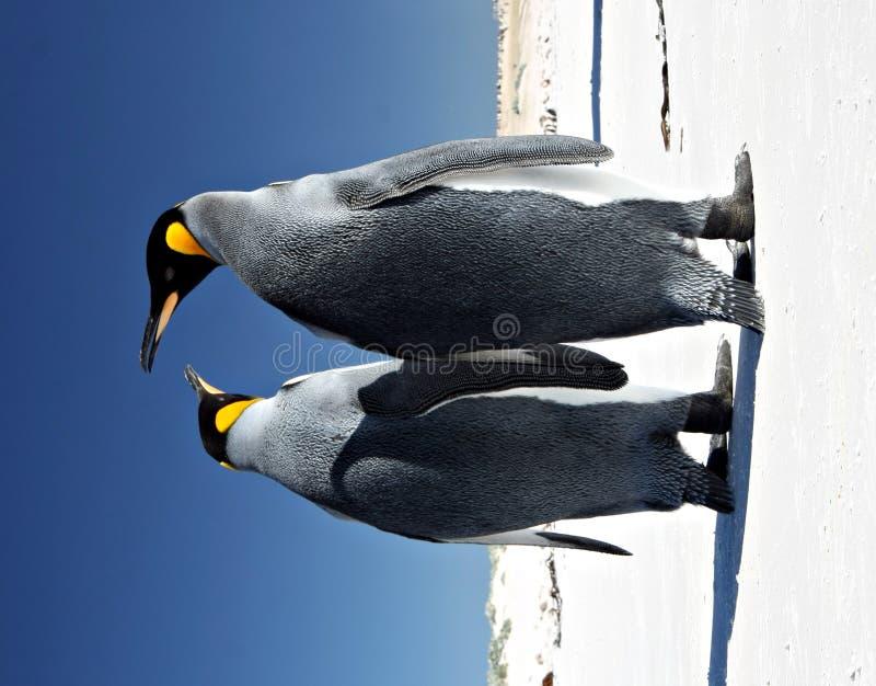 Rey pingüinos en la punta voluntaria imagenes de archivo