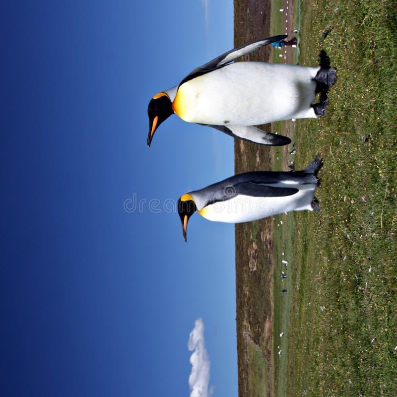 Rey pingüinos en la punta voluntaria foto de archivo