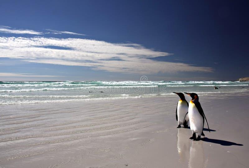 Rey pingüinos en la punta voluntaria fotos de archivo