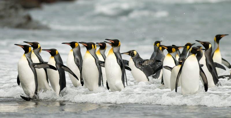 Rey pingüinos en la resaca fotos de archivo libres de regalías