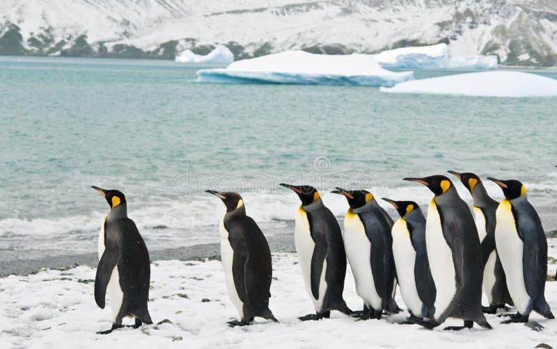 Rey pingüinos en una bahía helada imagenes de archivo